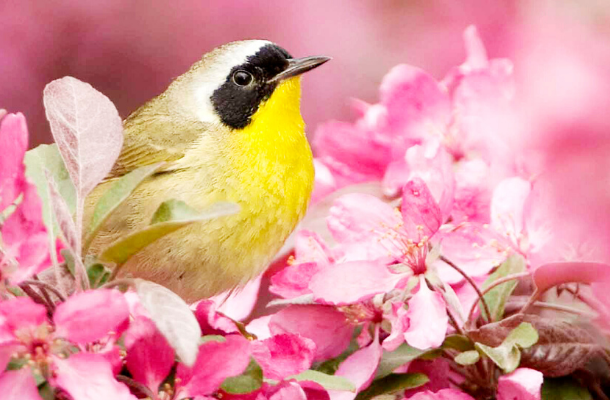 Common Yellowthroat by Owen Deutsch_News.png