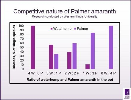 Competitive nature of Palmer amaranth.jpg