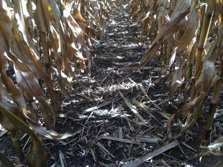 Nebraska cornfield at harvest.jpg