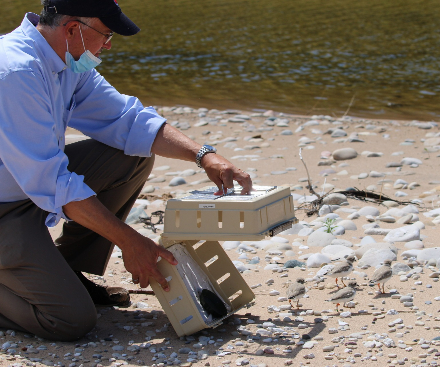 EPA Regional Administrator Kurt Thiede released captive reared Great Lakes piping plover chicks at Sleeping Bear National Dunes Lakeshore.