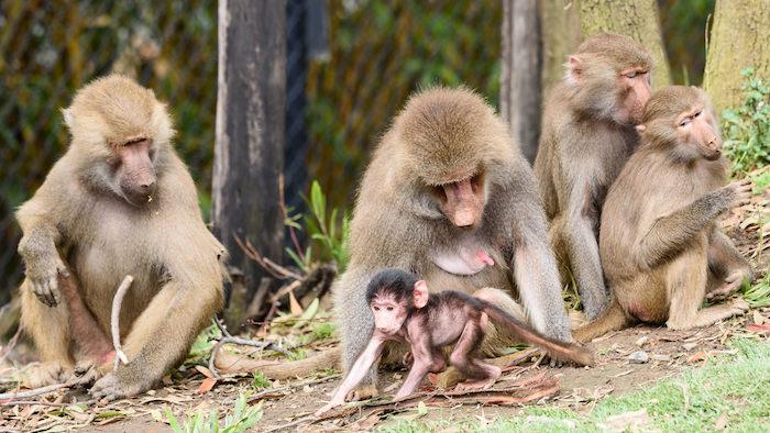 Baby Baboon at 18 days-3213.jpg