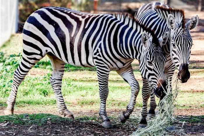 Zebra Boys-.jpg