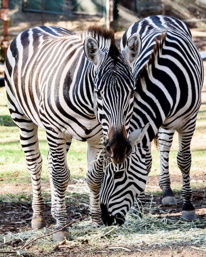 Zebra Boys-3977_preview.jpeg