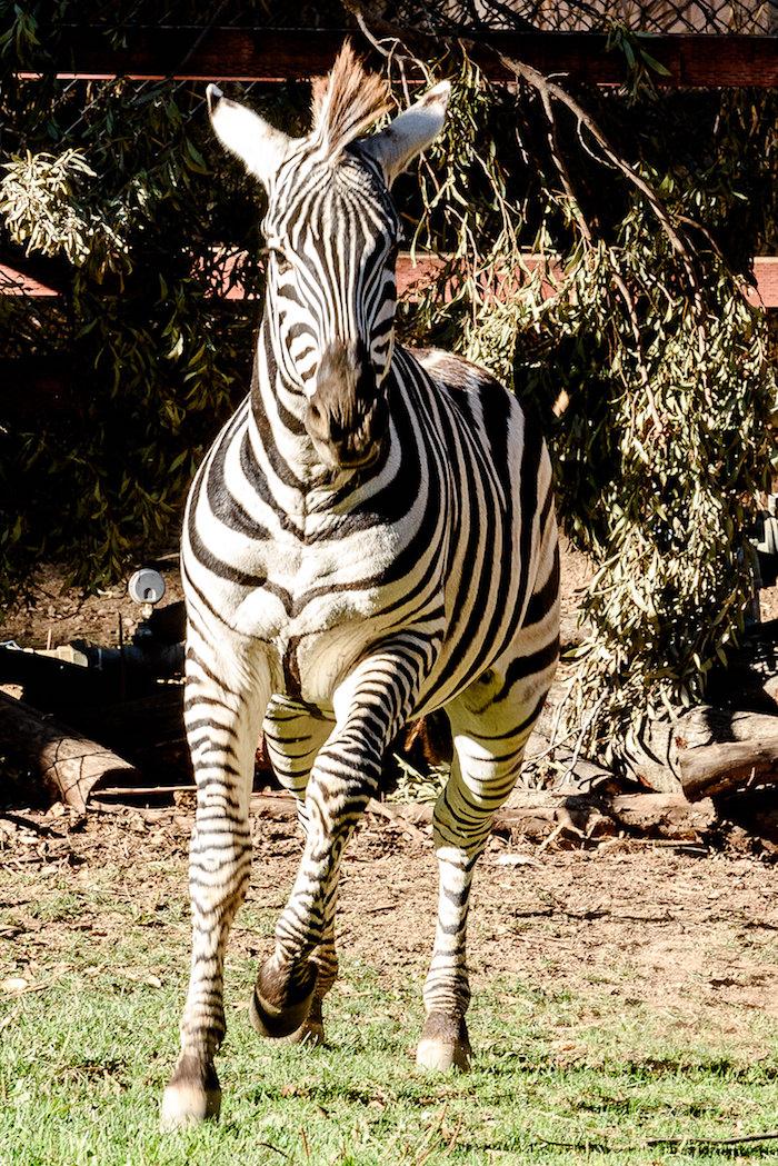 Zebra Boys-3936.jpg