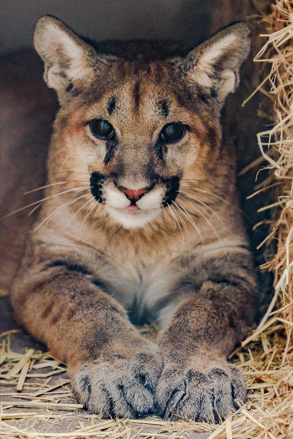 Mountain Lion Cub 20171211 -6 copy.jpg