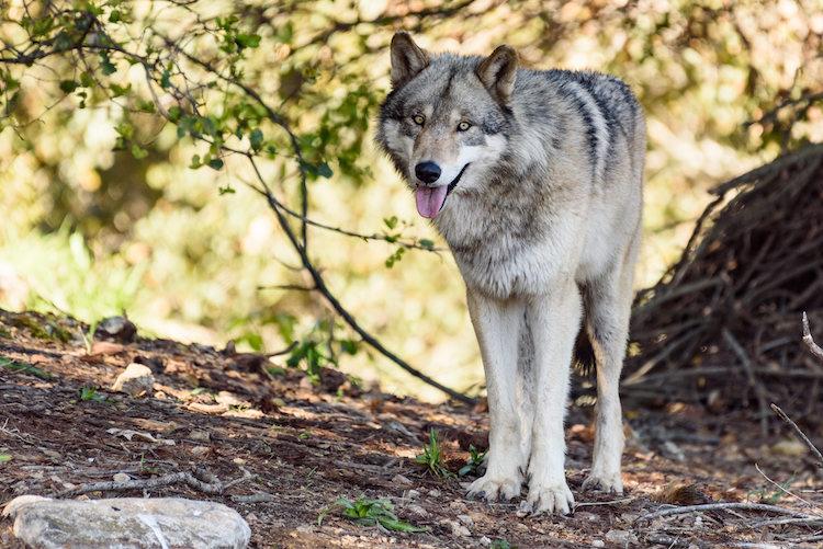 Wolves - Full Size-8445.jpg