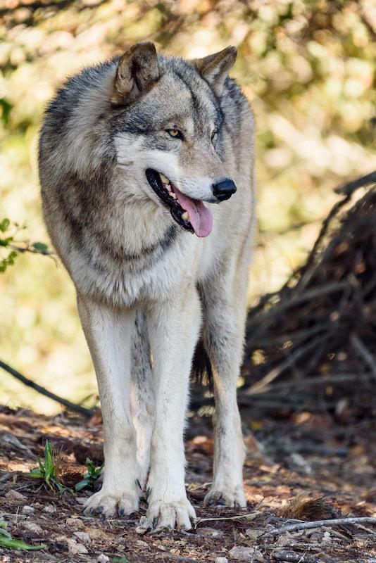 Wolves - Full Size-8447.jpg