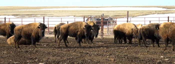 bison group.jpg