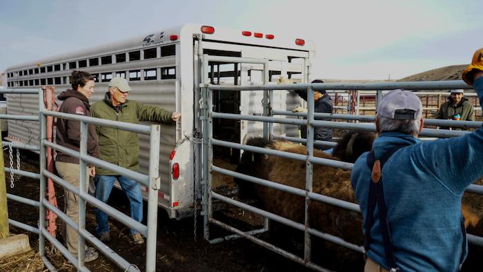 Bison being loaded copy.jpg