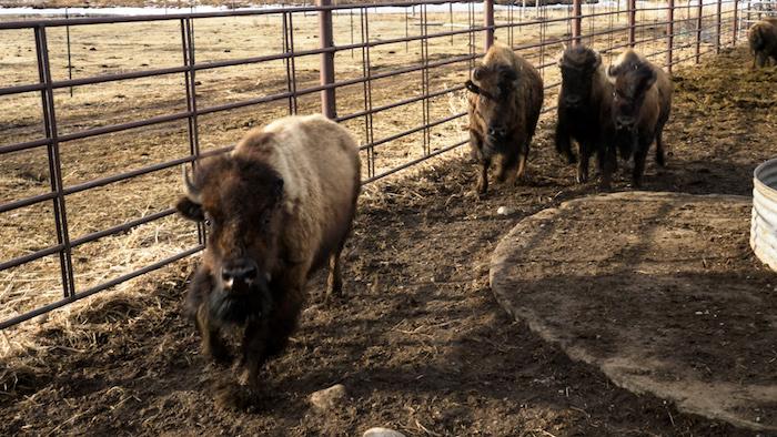 bison run copy.jpg