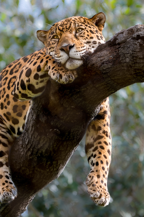 Jaguar coming from LA Zoo_credit LA ZOO.jpg