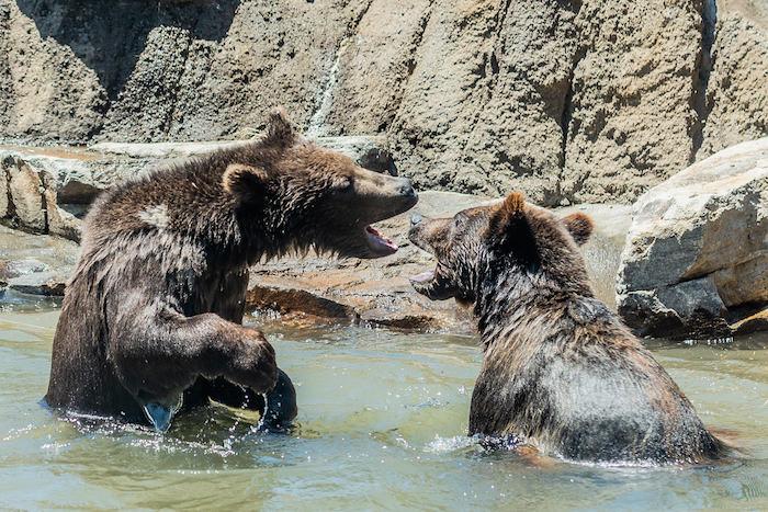 Grizzly Bears 20180608-144 copy.jpg