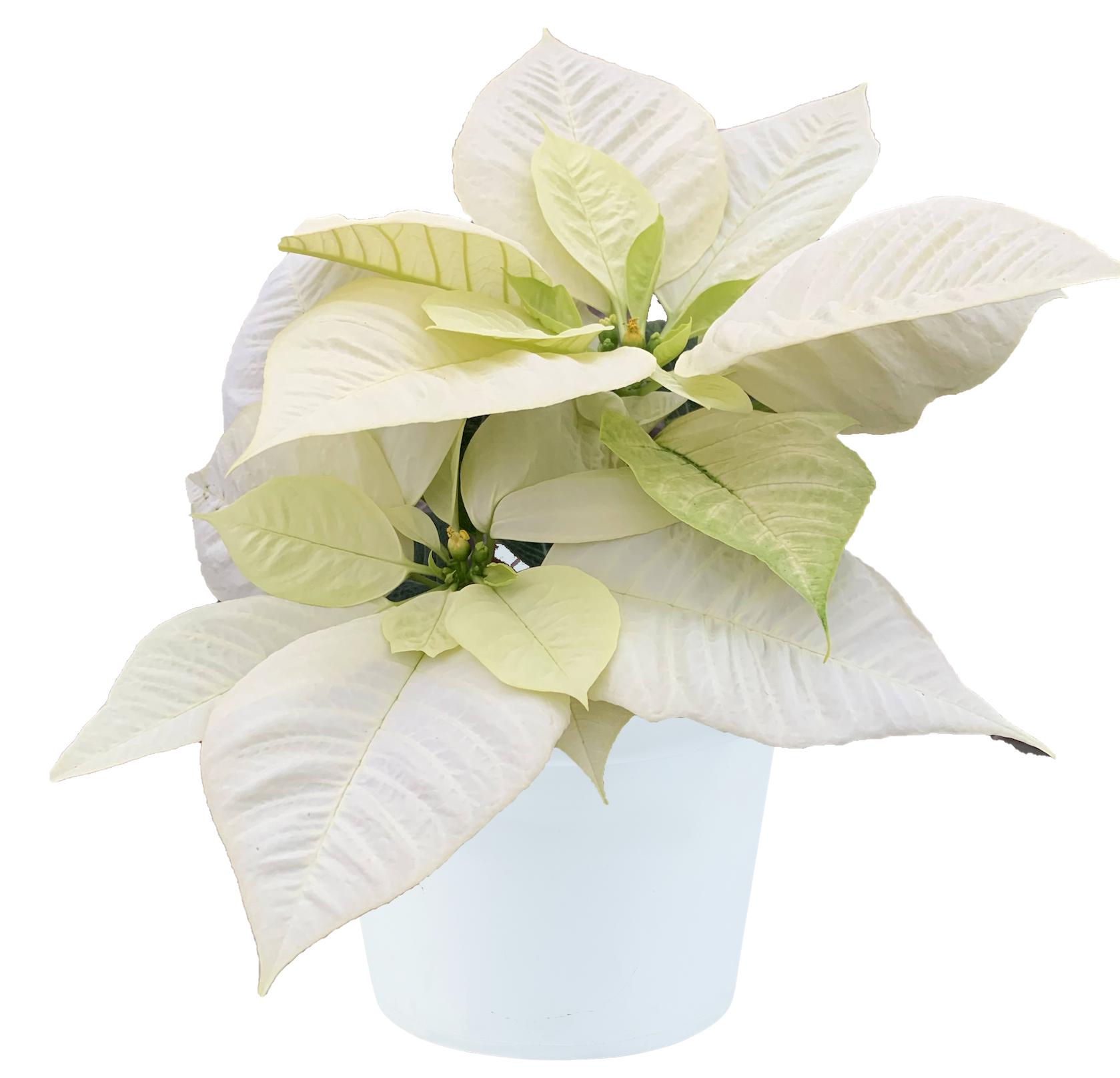 Poinsettia Jack Frost with pot.png