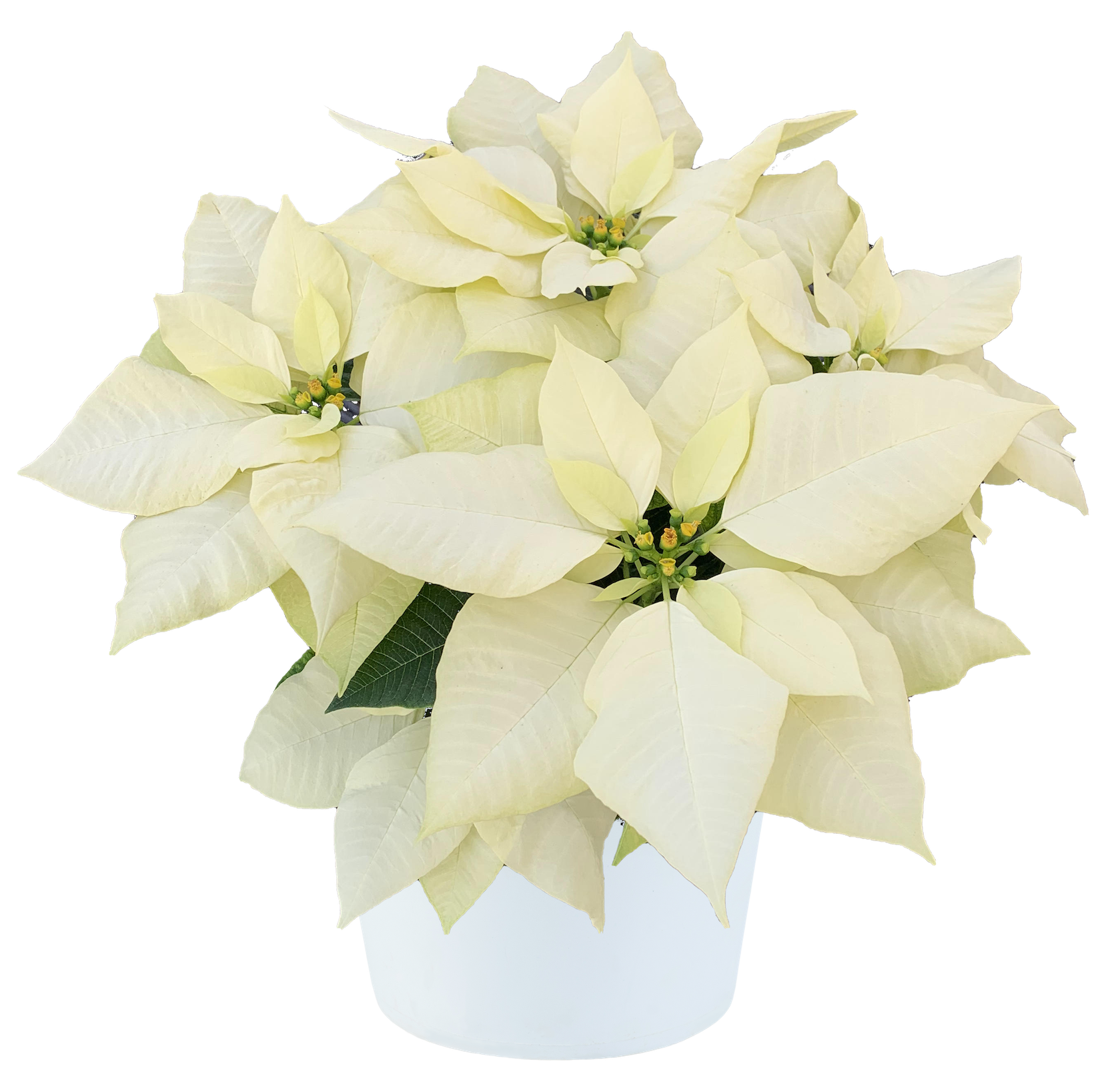 Poinsettia Pure White with pot.png