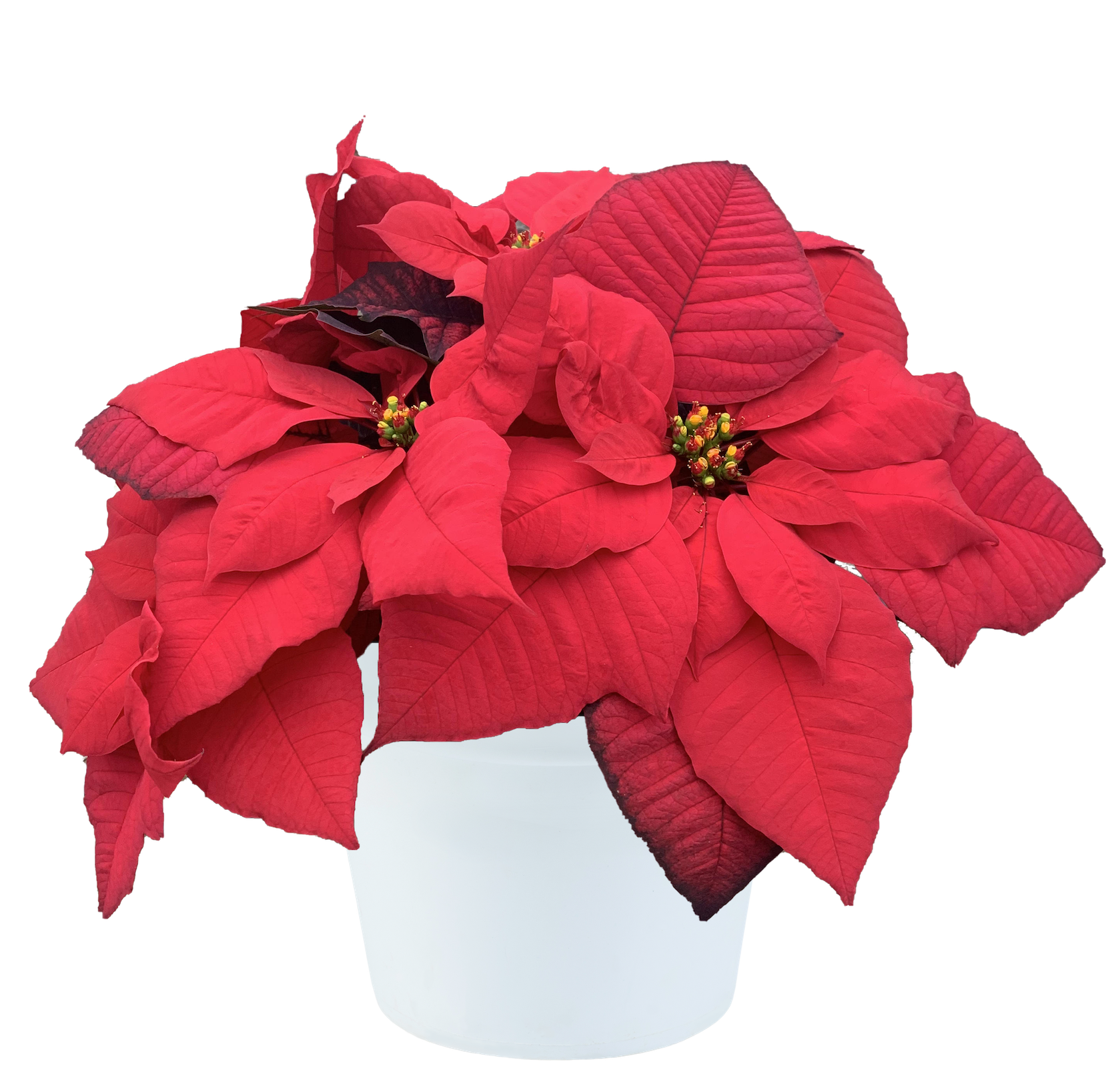 Poinsettia pepita with pot.png